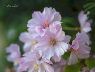 Spring blossome. by Phototubby