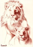 Lions by Comacold