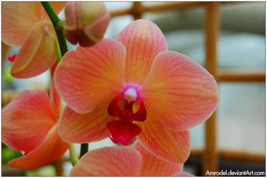 Orchid by amrodel