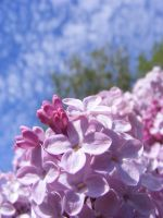 For Everyone That Loves Lilacs by BlueIvyViolet