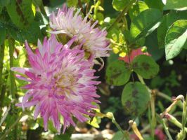 Dahlia rose by Fairling