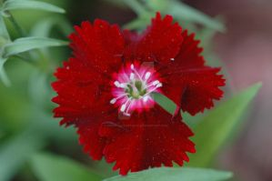 Red Flower by MindfullyArtistic