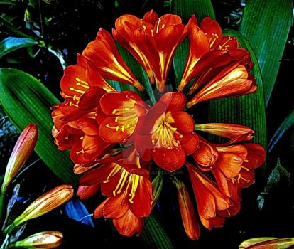 CLIVIA hybrid by Peaches1950