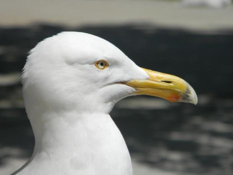 Seagull on Ellis Island by Squirrelfl1ght4evr