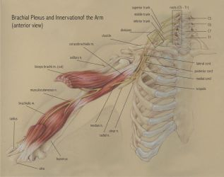 Brachial Plexus by sleepy-KC