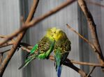 Parakeets by black-ladybird