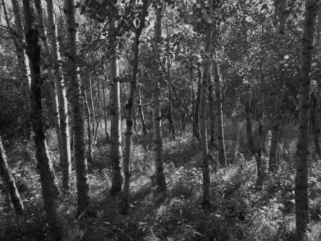 Forest, Greyscaled by tudybeck