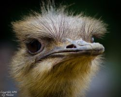 Ostrich I by AstarothSquirrel