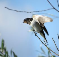 Barn Swallow by HammerPhotography