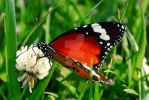 Butterfly by LicamtaPictures