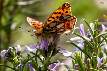 Butterfly Issoria lathonia on flower by VitoDesArts