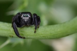 2109 Jumping Spider by RealMantis