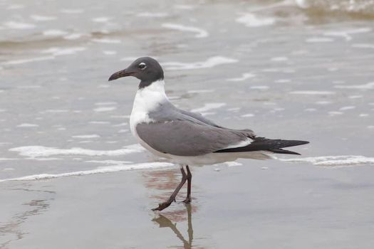 Laughing gull by sequential