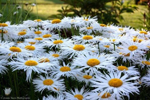 Field of Daisies by sweetcivic