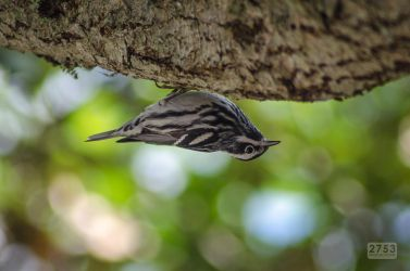 Black and White Warbler by 2753Productions