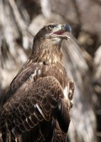 Young Eagle by Jack-13