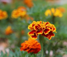 Tagetes by GabiAngelo