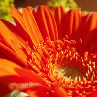 Orange flower III by Heckenshutze