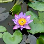 Water lily. by Denish-C