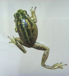 frog stock 39 by hatestock