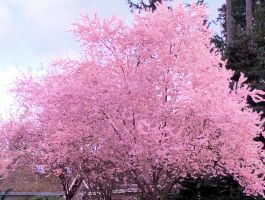 Cherry Blossom accent edge by infin8yquest