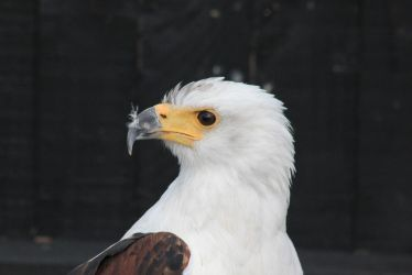 African Fish Eagle by S4MMY4RT
