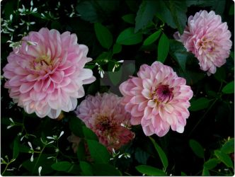 Pink_Dahlia_Group2 by Theriom