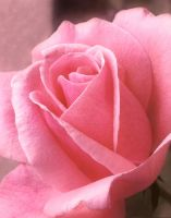 Rose by matthey