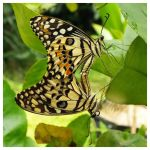 Lime Butterflies doing their bit for bfly numbers by kiew1