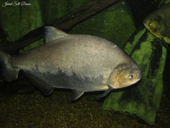Night Pacu by Soll-DenneGallery