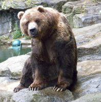 Kodiak Bear 2 by maerocks