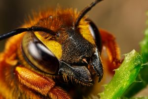 Cuckoo Bee Portrait III by dalantech