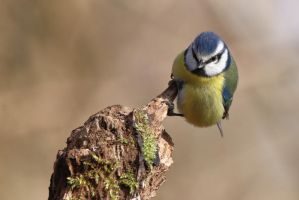 Blue Tit 4-3-18 by pell21