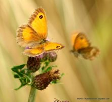 Gatekeeper butterflies by Gertcars