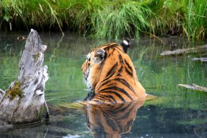 Tiger in water by sunwolf29