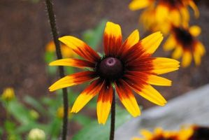 NEW Zoo: Unknown Daisy by charliemarlowe