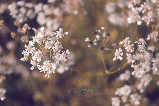 flowers by StevaNN