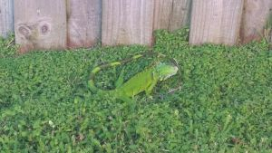 Second photo of first Iguana by LittleWindy7