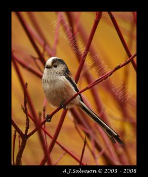 Long Tail Tit II by andy-j-s
