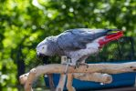 African Grey Parrot 2 by CastleGraphics