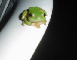 Tree Frog by kailor