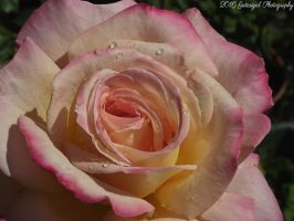 Pink Rose 2 by Gatesigirl