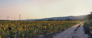 The Way of Sunflowers by Zoroo