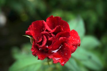 Red rose after rain. by pueng2311
