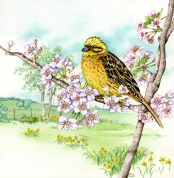 Yellowhammer on cherry blossom 3 of 4 by LynneHendersonArt