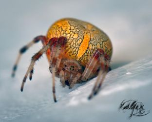 Fat spider by madlynx