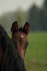 Foal stock 36 by Bundy-Stock