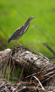 Green Heron Dead Tree by DGAnder