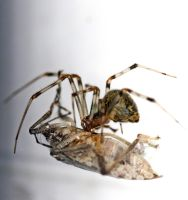 Housespider Eating Stinkbug  by WanderingMogwai