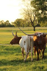 Texas Longhorns by wanderingmage